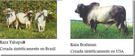 Tabapuá- Brahman