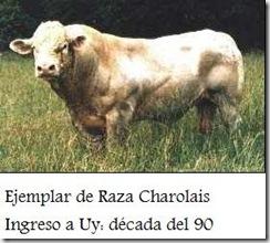 Charolais